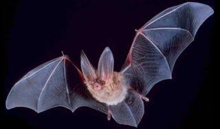 Illustration for article titled Los murciélagos hacen zoom de su sonar interno al abrir o cerrar la boca