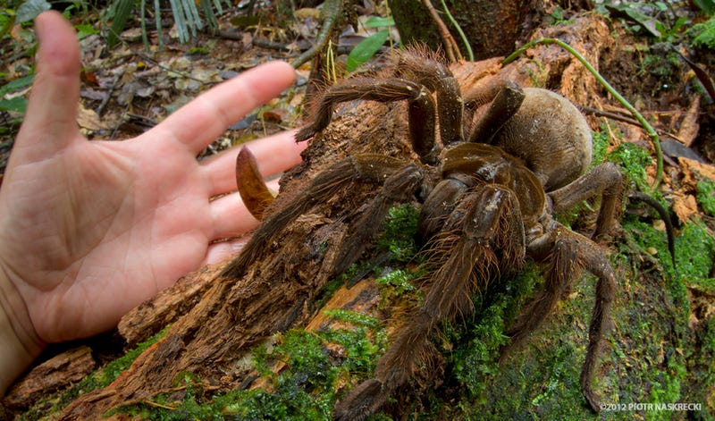 Illustration for article titled The legs on this puppy-sized spider are a foot long