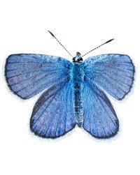 A Karner Blue Butterfly