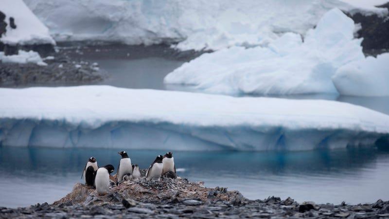 Gentoo penguins being super cool.