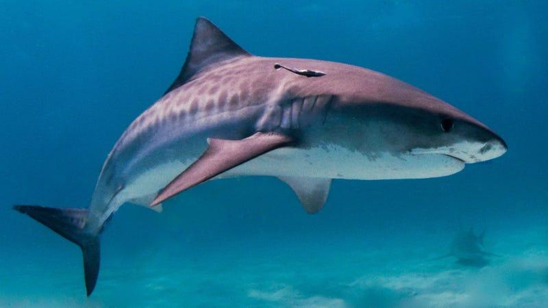 A tiger shark in the Bahamas.