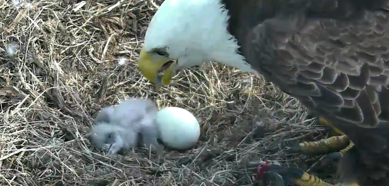 Illustration for article titled This Bald Eagle Nest-Cam Is What You Need Right Now