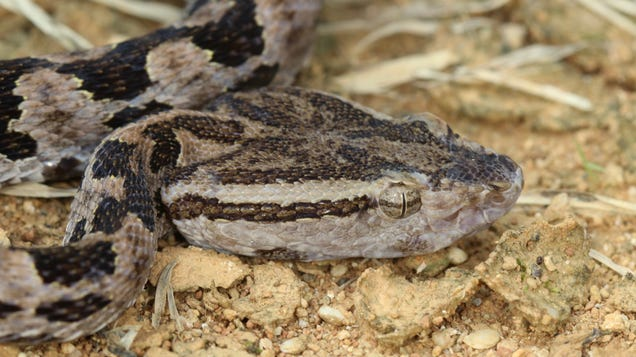 There s an Ancient Connection Between Our Saliva and Snake Venom