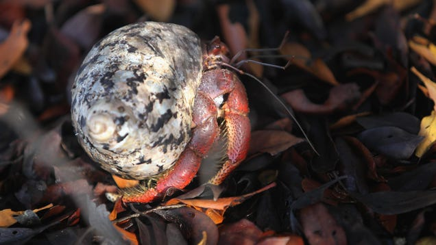 No, Hermit Crabs Are Not Trying to Bone Plastic Trash