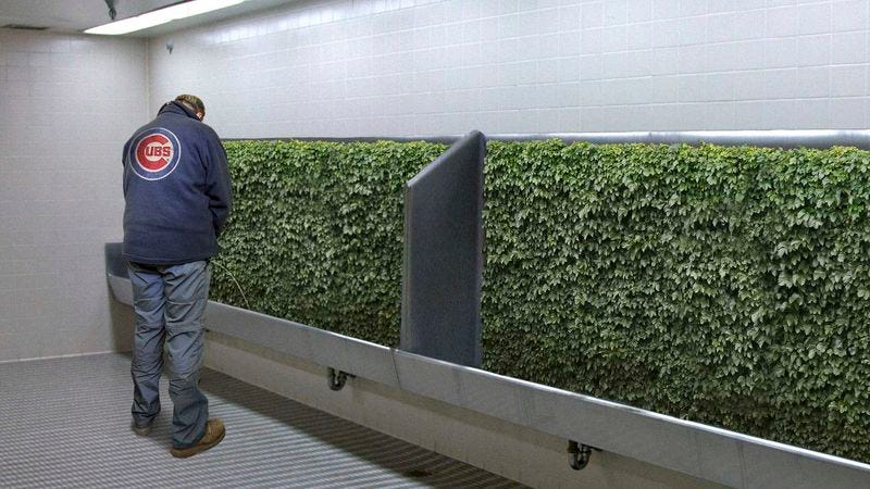 Illustration for article titled Wrigley Field Removes Iconic Ivy From Urinal Troughs
