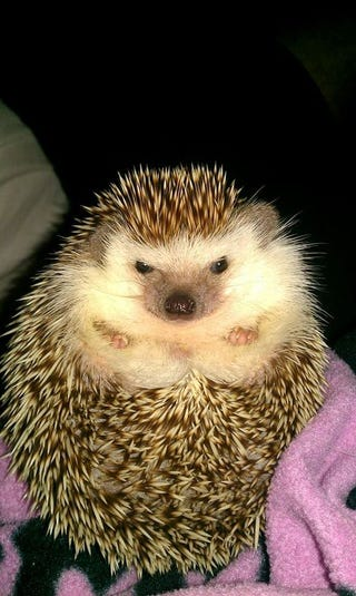 Illustration for article titled I just took the best picture of my hedgehog and I must share