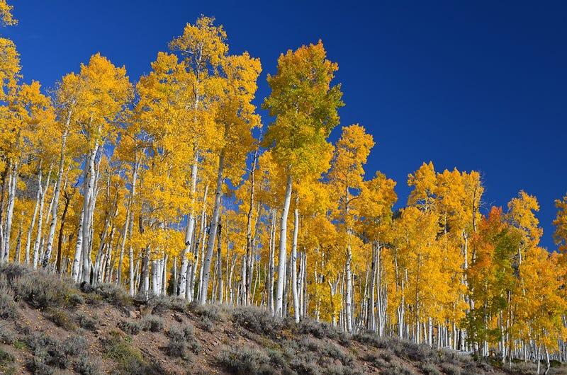 Pando (Utah). Wikimedia Commons