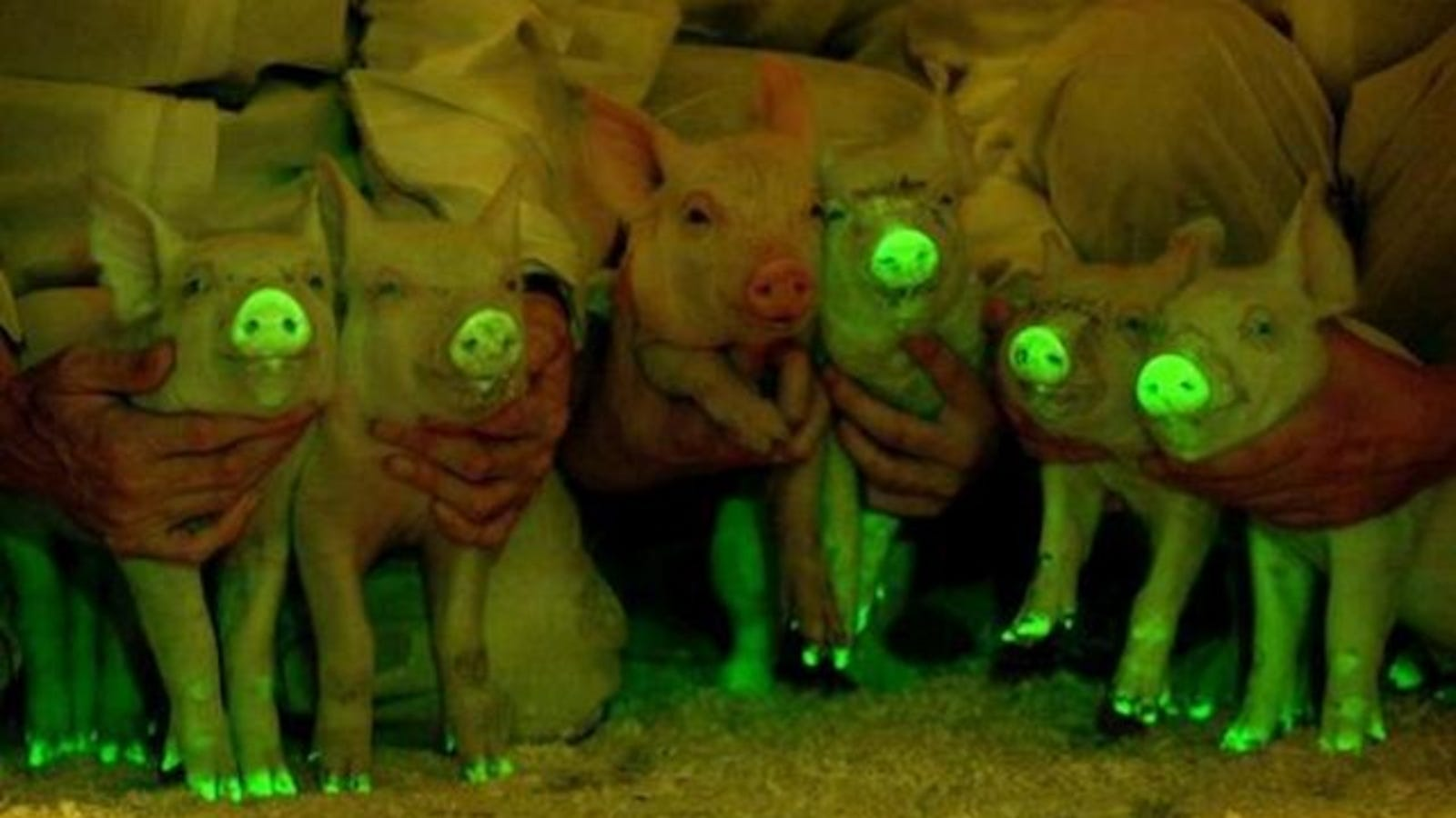 These Pigs Glow-in-the-Dark to Save Lives
