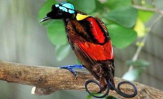 Illustration for article titled Wilson's Bird of Paradise: Weird-Looking Bird or Weirdest-Looking Bird?