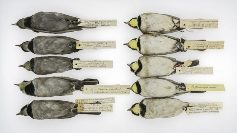 Horned larks from the early 20th century (left) compared to those from more recent years (right). (Image: Carl Fuldner and Shane DuBay, The University of Chicago and The Field Museum)