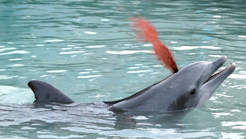 Illustration for article titled SeaWorld Crowd Applauds For Dolphin Playfully Spraying Blood From Blowhole
