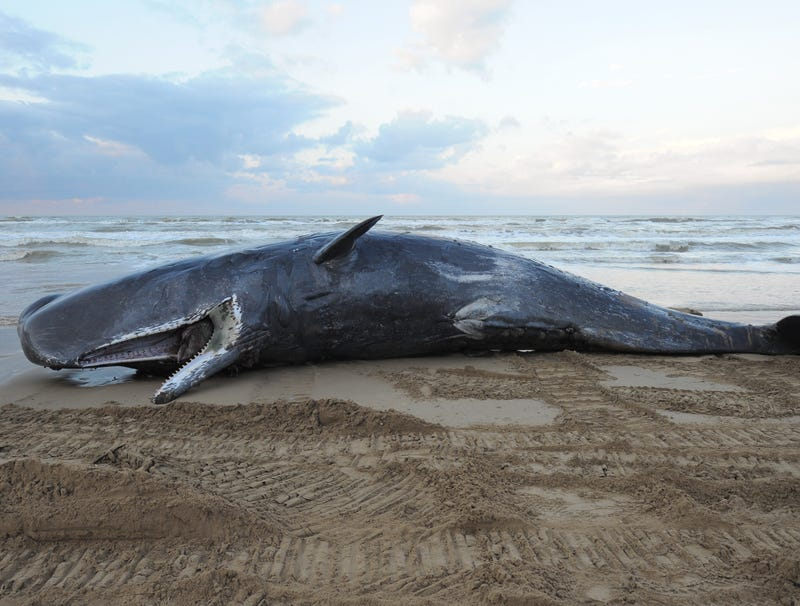Illustration for article titled Beached Whale Trying To Hold On Until Sea Levels Rise