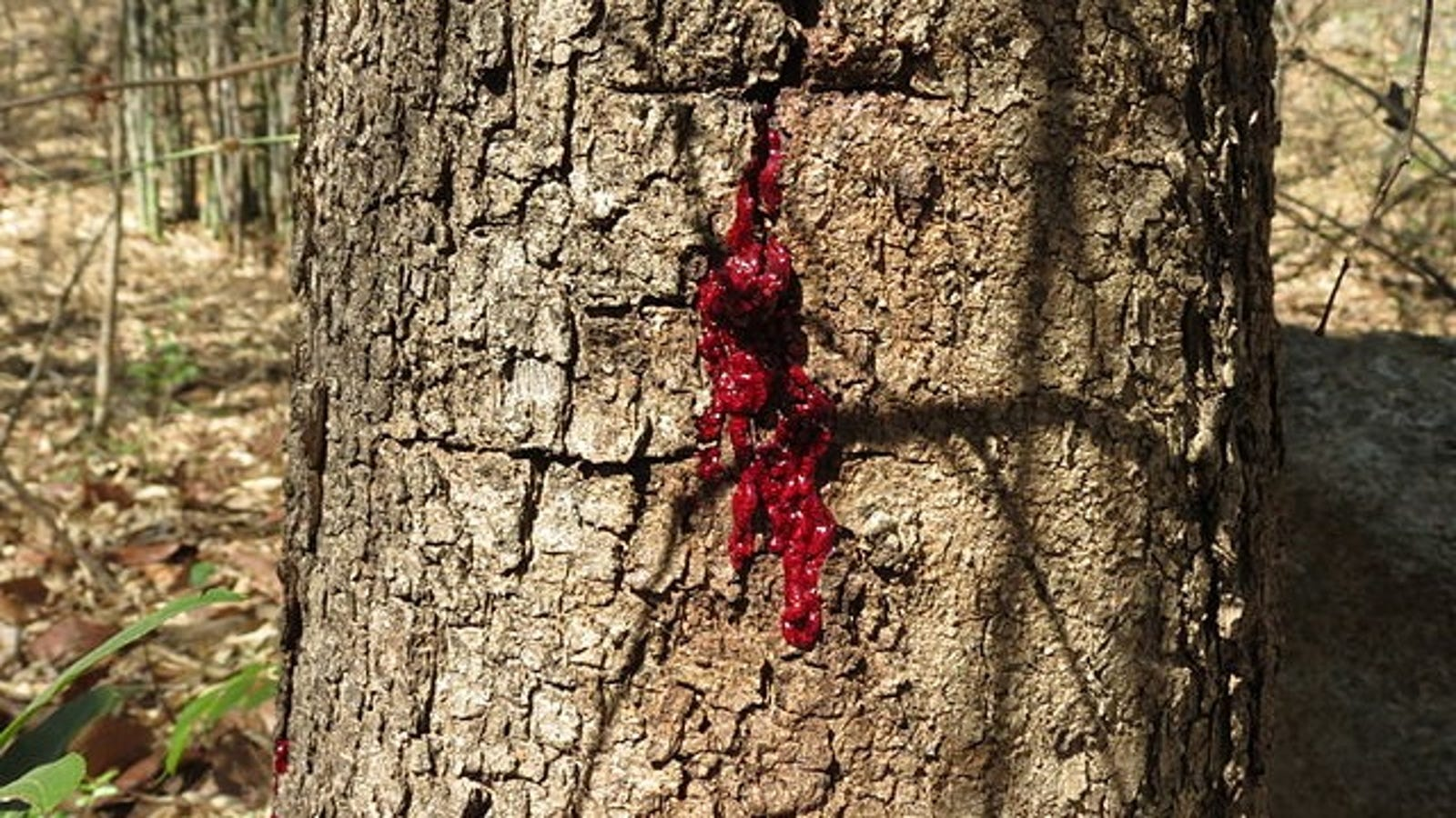 This Tree Bleeds When You Cut Into It