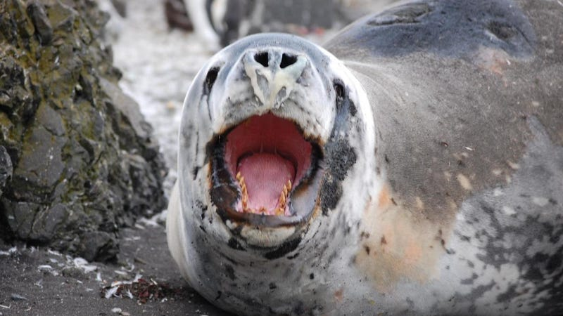 Antarctic leopard seals prey on penguins and fur seals, which feed on shrimp-like crustaceans called krill. Scientists monitor the seals as useful barometers of the health of the Antarctic ecosystem. Photo credit: NOAA Fisheries/Southwest Fisheries Science Center