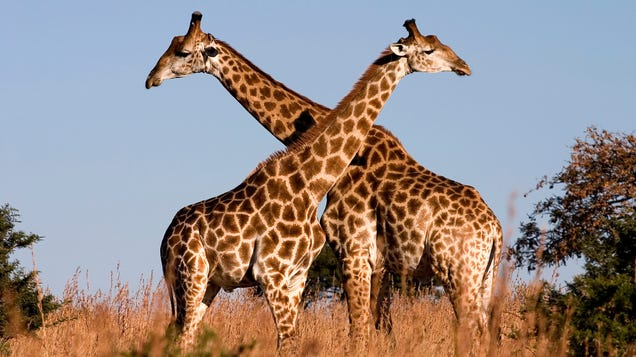 Giraffes Are Basically Fuzzy Lightning Rods, New Research Suggests