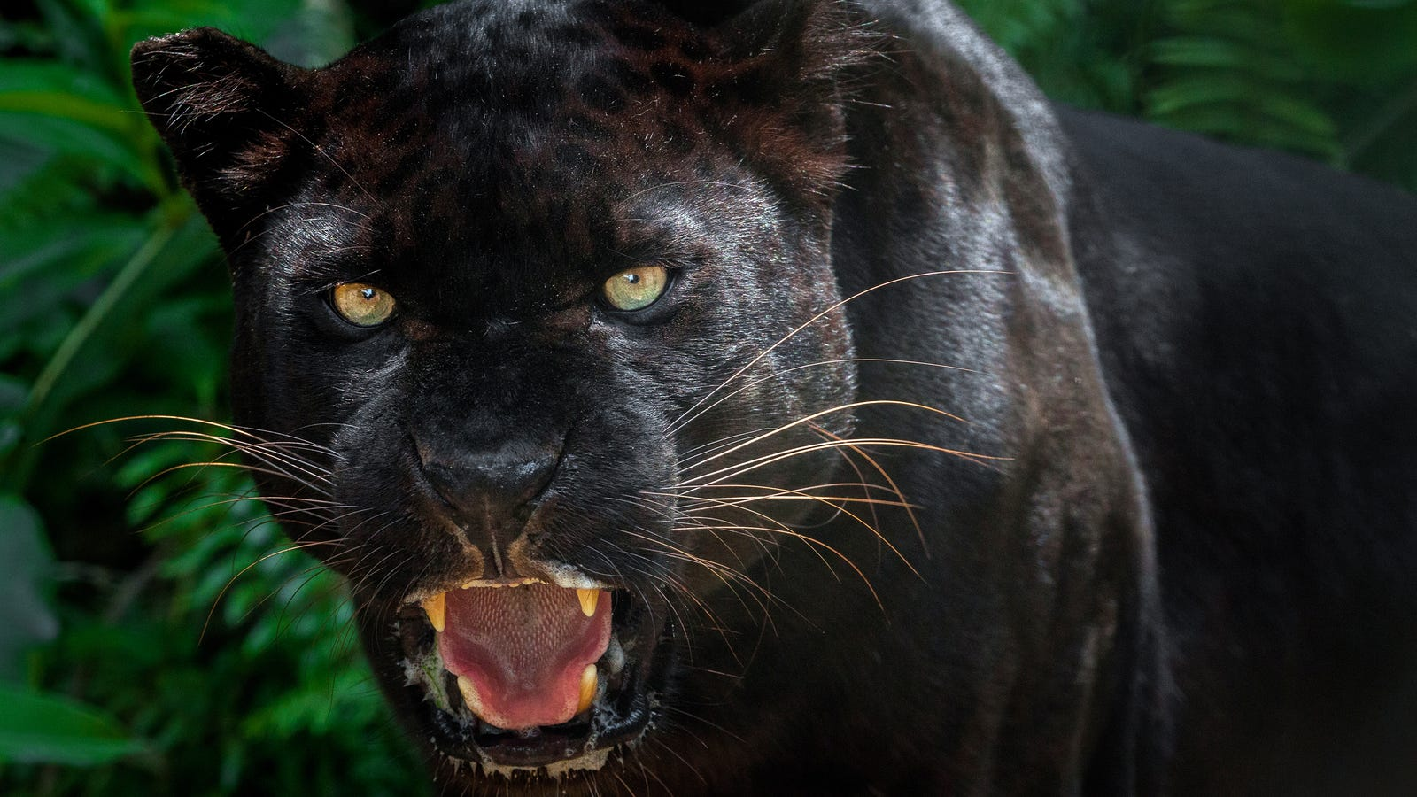 Scientists Photograph Rare Black Leopard in Kenya - photo#1