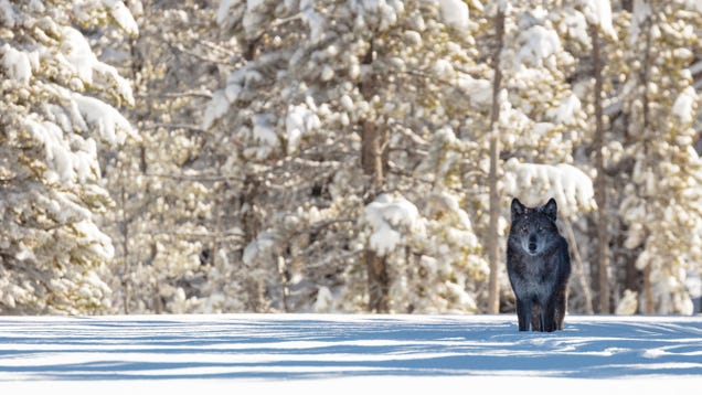 25 Years After Returning, Yellowstone's Wolves Are the Most Studied but Misunderstood Good Boys