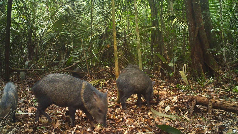 Collared peccaries, seen above, enjoy eating the cassava crops that Brazilian farmers depend on to survive.