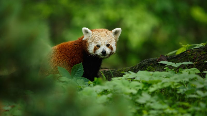 Illustration for article titled Female Red Panda Runs Away From Home, But Will She Make It in the Big City?