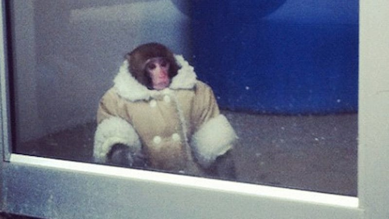 Illustration for article titled Coat-Wearing Monkey Gets Loose in an Ikea Parking Lot, Just Wants Some Damn Meatballs