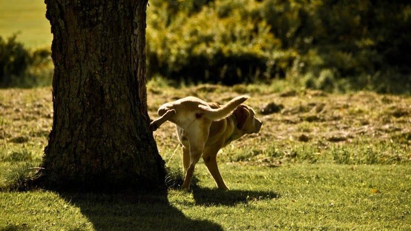 Illustration for article titled Los perros pequeños hacen pis a mayor altura para mentir sobre su tamaño, concluye un estudio
