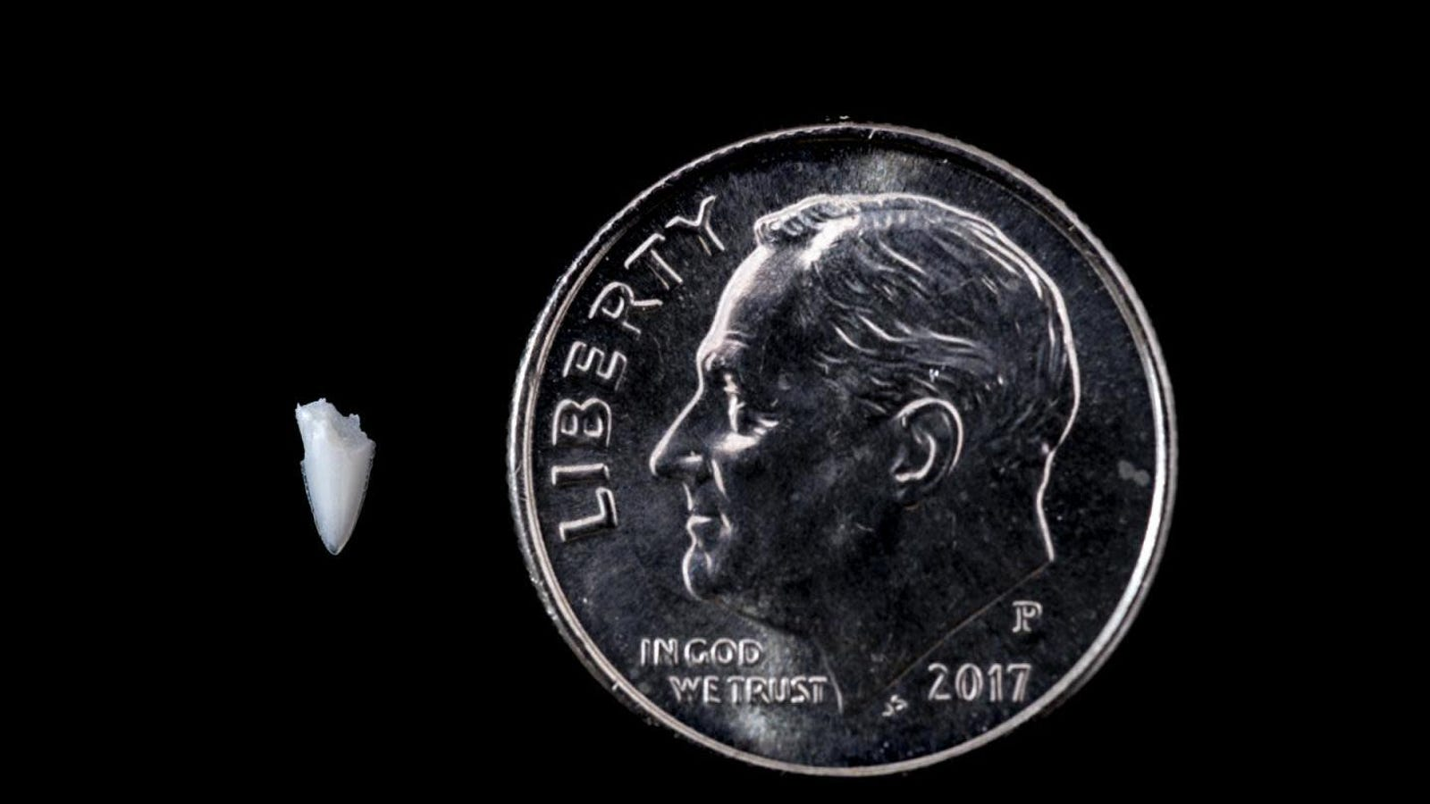 Shark Bite Mystery Solved 25 Years Later Thanks to Tooth Tweezed From Foot