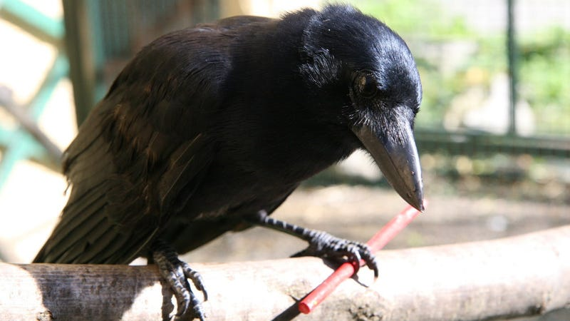 New Caledonian crow with a stick