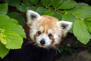 "Illustration for article titled ""I'm Lost!"" Washington Zoo Loses/Finds Rusty the Red Panda (UPDATE)"