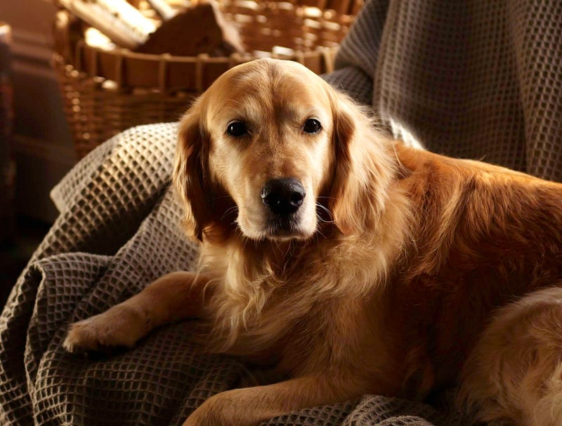 Illustration for article titled Loyal Dog Waits 2 Full Hours Before Consuming Dead Owner's Face