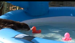 """Illustration for article titled Adorable Baby Otters Try To Figure Out The Whole """"Swimming"""" Thing"""