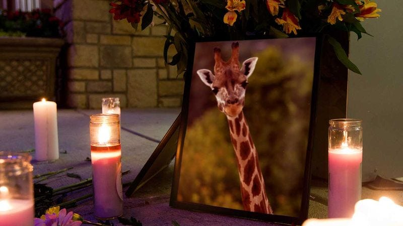Illustration for article titled Saying Goodbye: Last Night The San Diego Zoo Held A Candlelight Vigil For The Giraffe Who Choked On A Child