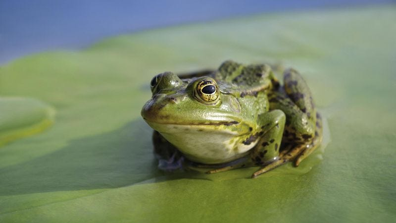 Frogs say they ultimately see themselves rising in the food chain to a position somewhere between raccoons and wolverines.
