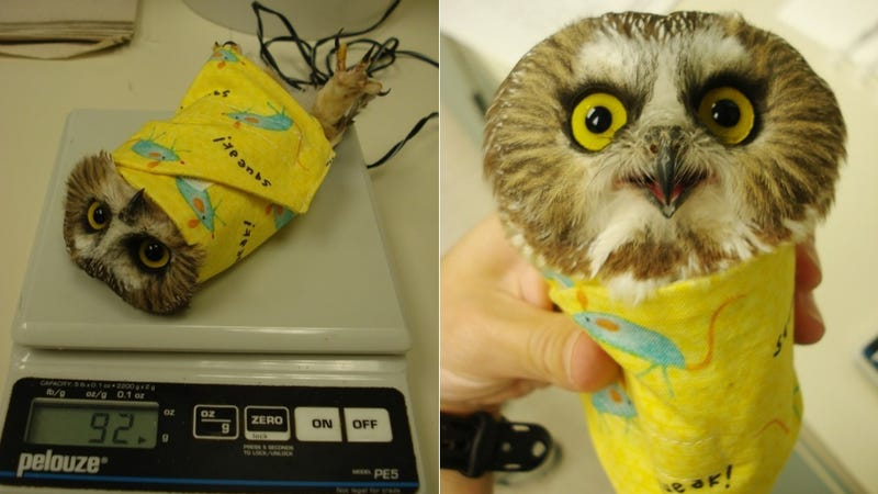 Illustration for article titled Owls are weighed wrapped up in blankets like little bird burritos