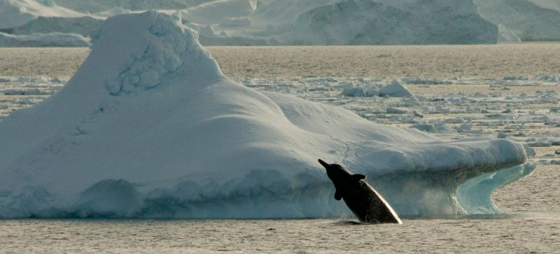 Illustration for article titled A Strange Whale Sound Recorded in Antarctica Could Be From a New Species