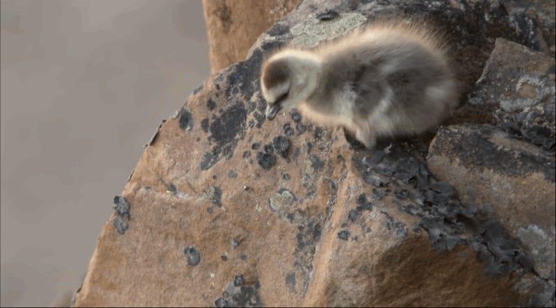 Estos tres polluelos no sabían volar y solo tenían una posibilidad para sobrevivir: saltar desde un acantilado de 100 metros de altura