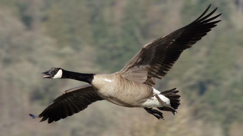 All Around Auto >> Goose Suddenly Realizes It Doesn't Have To Honk Like An Idiot Entire Time It's Flapping Wings