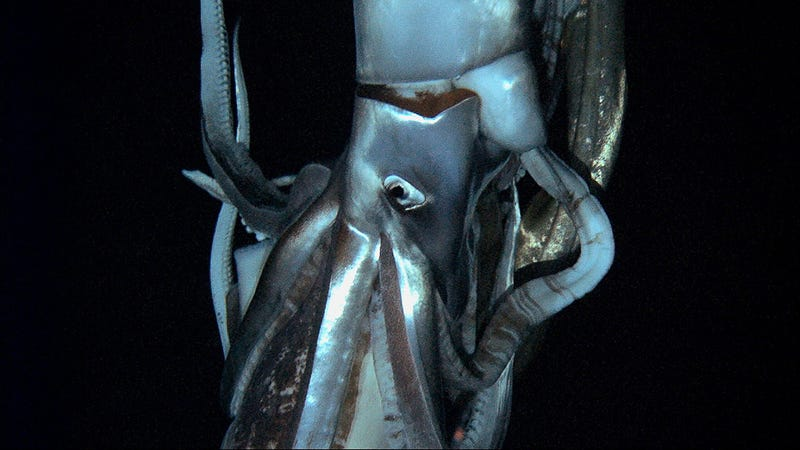 "Illustration for article titled Geneticists: Giant squid are ""very weird"""