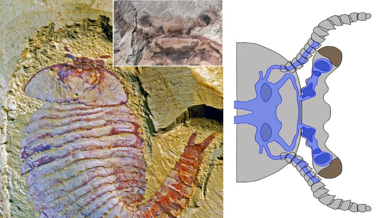 Illustration for article titled Incredible fossil discovery reveals a brain that's over half a billion years old