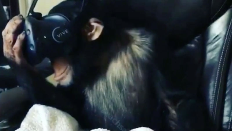 Illustration for article titled This Chimpanzee Wearing a VR Headset Should Make You Very Uncomfortable