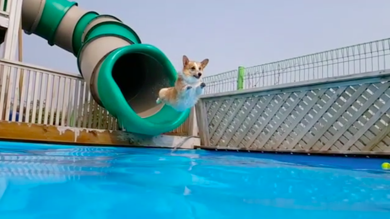 Illustration for article titled I'm Inspired By This Corgi Who Loves the Pool