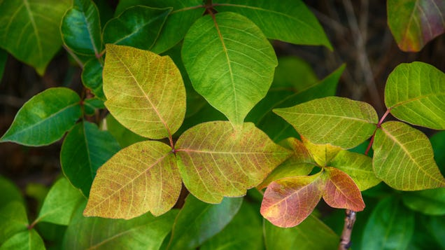 Poison Ivy Changes Color in the Fall