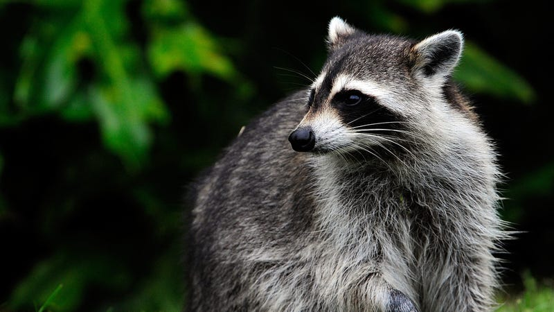 Not this raccoon, another one.