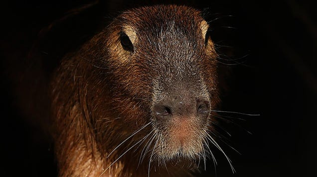 Capybaras Are Waging Class War in Argentina