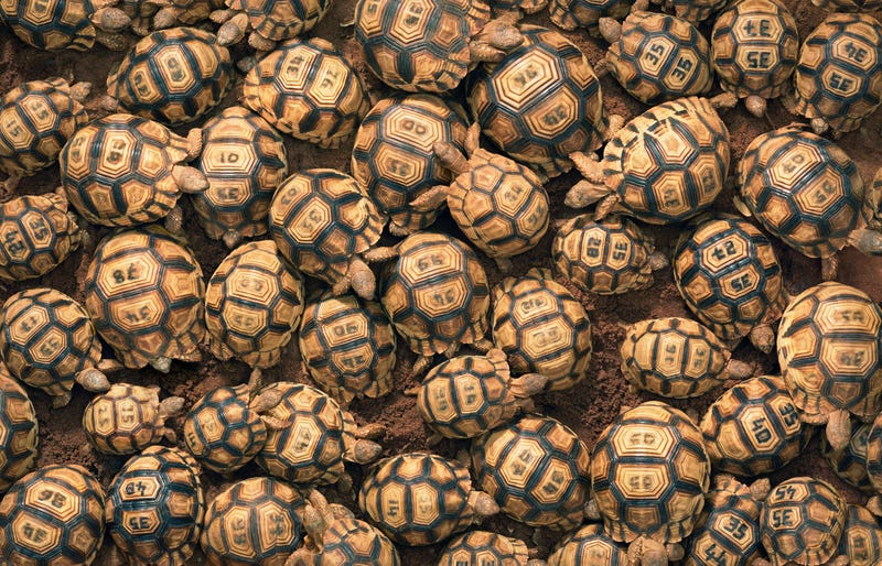 Around twenty heaped tortoises each with a unique code engraved on the back of the shell