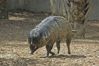 Illustration for article titled Emo pig, emo pig...