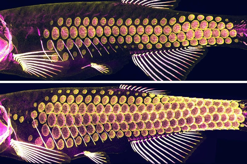 Zebrafish scales. Yellow regions show the cells which produce bony material, and the magenta regions shows the bony material.