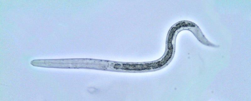 Ascaris larva