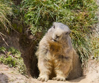 Illustration for article titled Angry Groundhog Causes Mayhem At Little League Baseball Game