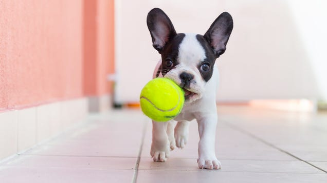 Don t Let Your Dog Play With Tennis Balls
