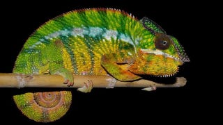 Illustration for article titled Chameleons Are So Good At Hiding, We Didn't Know They Were 10 Species
